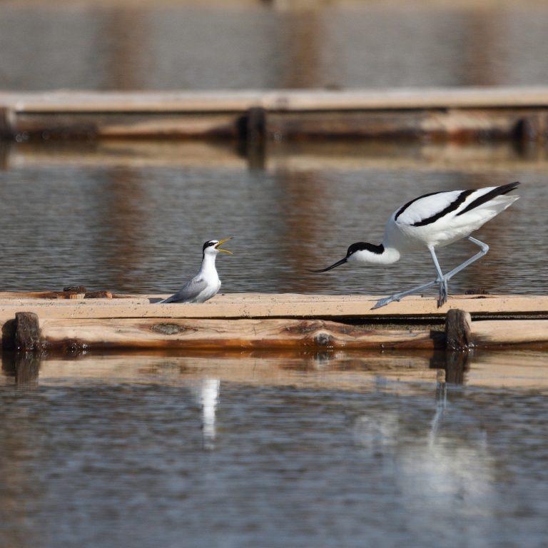 Малка рибарка (вляво) и саблеклюн на солниците в Поморие. Атмосферата се нагнетява, когато саблекюнът иска да премине по гредата. Смелата рибарка, обаче не прави и една стъпка встрани. И двата вида са застрашени в България и са изправени пред заплахи от страна на туризма и строителството. Фото: Frank Schulkes / www.birdscaptured.com