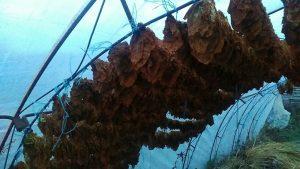 Тютюнът е оставен да се суши на сухо под оранжерията.